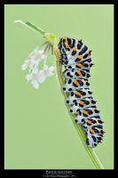 Papilio machaon 3 by SelvaggioRocker