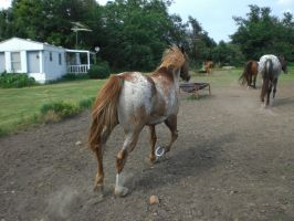 prince trotting 01. by greenleaf-stock