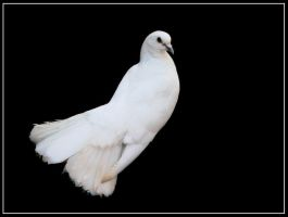 White Dove by kanes