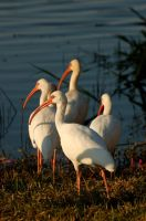White Ibis by parallaxadjustable