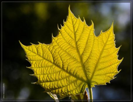 Leaf 40D0039532 by Cristian-M