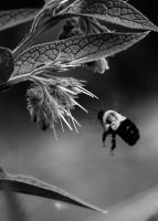 Flight of the Bumble Bee 6 by S-H-Photography