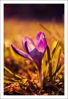 0191 crocus by Oo-lacrima-oO