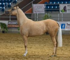 STOCK - 2014 Arabian Gala-206 by fillyrox