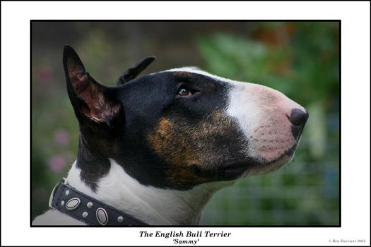 English Bull Terrier by CoupeKid