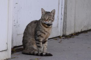 Brown Tabby 2 by Lakela