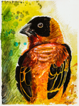 Northern Red Bishop by SunStateGalleries