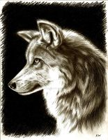 Mexican Wolf Pencil Drawing by Spectrum-VII