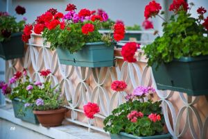 geraniums by emregurten