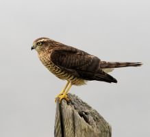 Sparrow hawk by pixellence2