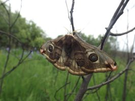 Small emperor moth (Saturnia pavonia) by mossagateturtle