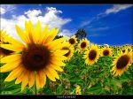SunFlowers by Marcello-Paoli