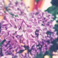 lilac by a-place4my-head