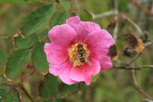 Bee At Deception Pass by FrancesColt
