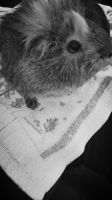 Ooc. My Guinea pig in black and white? by fuxk-0ff