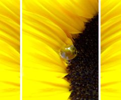 Sunflower Triptychon by Tricia-Danby