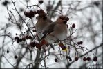 Waxwings together by Ryoo-09