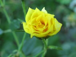 Yellow Rose by bean-stock