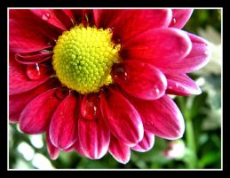 Chrysanthemum by Pjharps