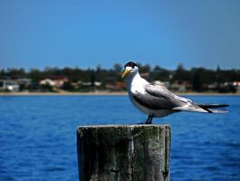 Tern by HalfBloodPrince71