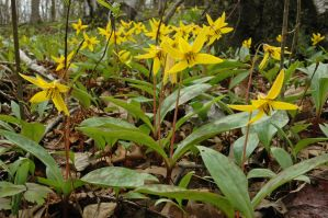 Time For Trout Lilies by tditzgb