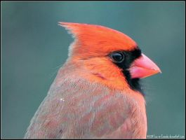 Cardinal is back by Lou-in-Canada