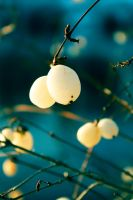 White Winter Berries by tina000