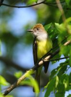 Great Crested Flycatcher by natureguy