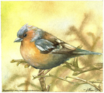Chaffinch by Poppysleaf