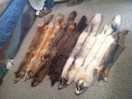 Current Pelt collection 2013 by NatsumeWolf