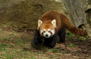 Red Panda 2 by mansaards