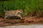 Jaguar 06 by catman-suha
