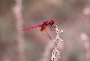 dragon fly by jatinrox