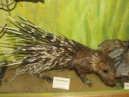 porcupine stock by Mihraystock