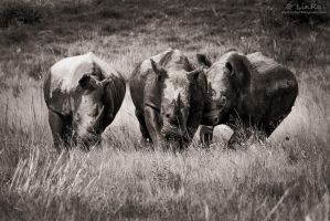 Rhinos at Play (monochrome) by LinRuPhotography