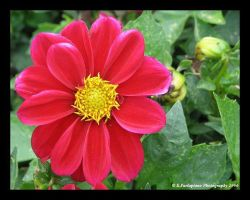 Dahlia by picworth1000wrds