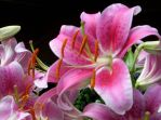 Pink Lillies I by TerraGirl16