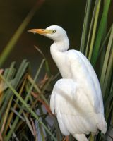 Nile Cattle Egret by Ironpaw