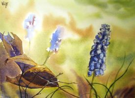 Grape Hyacinth by MagdalenaWolff