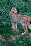 IMG_6240 - Eurasian Lynx by 0paperwings0