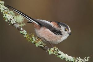 Long-tailed Tit by Jamie-MacArthur