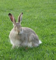 Snowshoe hare stock 2 by alphasoupstock