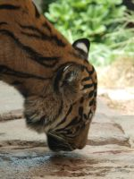 Tiger looking down by photographyflower