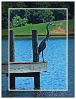 Great Blue Heron by TThealer56