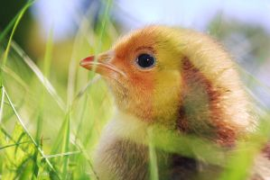 young chicken by creativecircle
