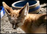 Fennec Remembering by Coyoti