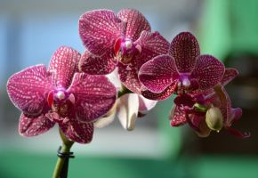 Gina's Orchid by tchalla811