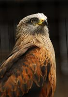 Black Kite by Shadow-and-Flame-86