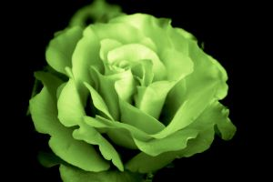 Oh look. It's a green flower. by minniminnimi