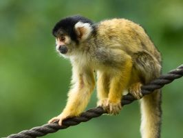 Squirrel Monkey on a Rope by neonstz
